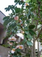 東京・文京区の公園に咲いていた椿(娘通信)
