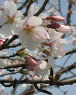 """""""桜咲く""""4月8日にも…(近所の住吉小にて)"""