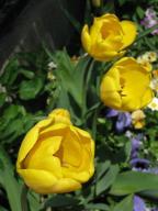 錦織家のプランターに咲いていたチューリップ