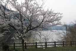 湖畔に桜が咲き始めた日南湖(県営菅沢ダム人造湖)