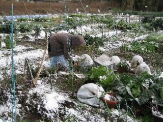 市民農園で防寒キャップをかぶせる
