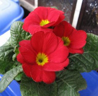 花3輪のポリアンサ