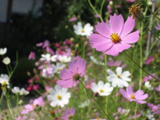 民家の庭先で咲いていたコスモス
