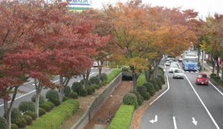 道路沿いに植えられたケヤキの紅葉ははみごと