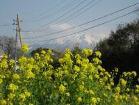 市内南郊で見つけた菜の花と大山