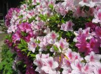 米子市の花・ツツジ