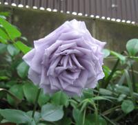 今年も咲きました紫のバラ