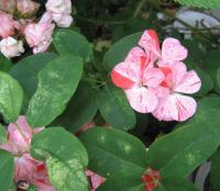 わが家の庭に咲くゼラニウム