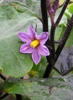 市民農園のナスの花