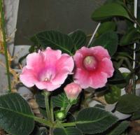 わが家の窓辺に咲くグロキシニア