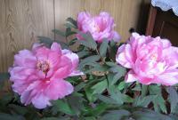 訪問先の玄関で見かけた立派な花を咲かせたボタン