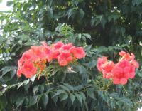 そろそろ終わりに近づいたノウゼンカズラの開花