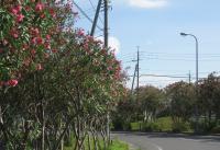 クリーンセンター進入路に咲く夾竹桃