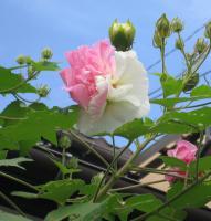 わが家に庭に咲いた酔芙蓉
