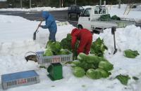 雪の中から白菜の掘り出し作業