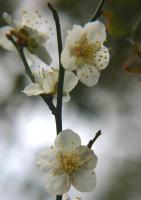 わが家の梅の花も咲きそろいました