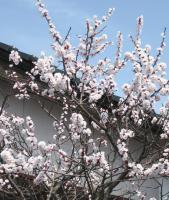 いっきに花を咲かせ始めた桜
