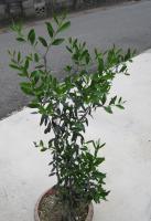 わが家のオリーブの木