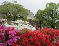 咲きそろったツツジ(公会堂前)