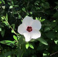わが家に咲いたアブチロン